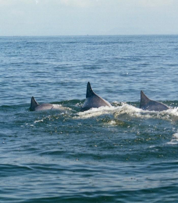 Golfinhos/Botos Cinza nadando nas redondezas da Ilha do Mel