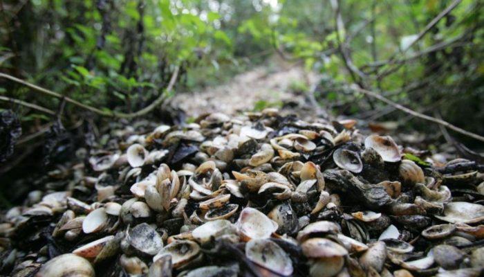 sambaqui, ou amontoado de conchas em meio a uma floresta